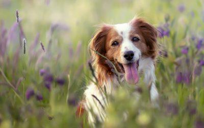 Alergia primaveral en perros